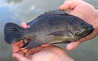 امکان تولید 15 هزار تن ماهی تیلاپیا در بافق یزد وجود دارد