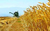 کاهش 8 درصدی تولید گنرم شهرستان ری