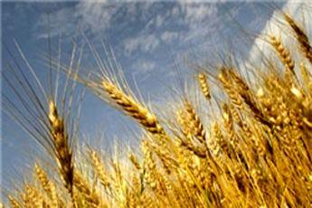 ایران از هند گندم وارد نمیکند