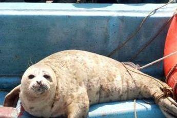 نجات ۲ فک خزری از تورهای صیادی و رهاسازی مجدد در دریای خزر