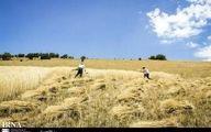 کاهش 40 درصدی تولید گندم در نیشابور