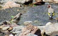 کشف 15 قطعه پرنده سهره طلایی در بویراحمد