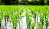 بحران آب در کشور، کشت آزاد برنج